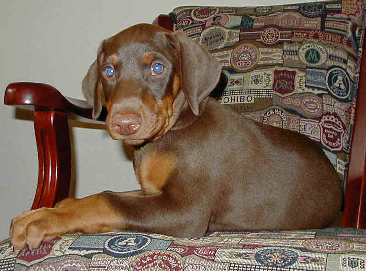 red rust female doberman puppy