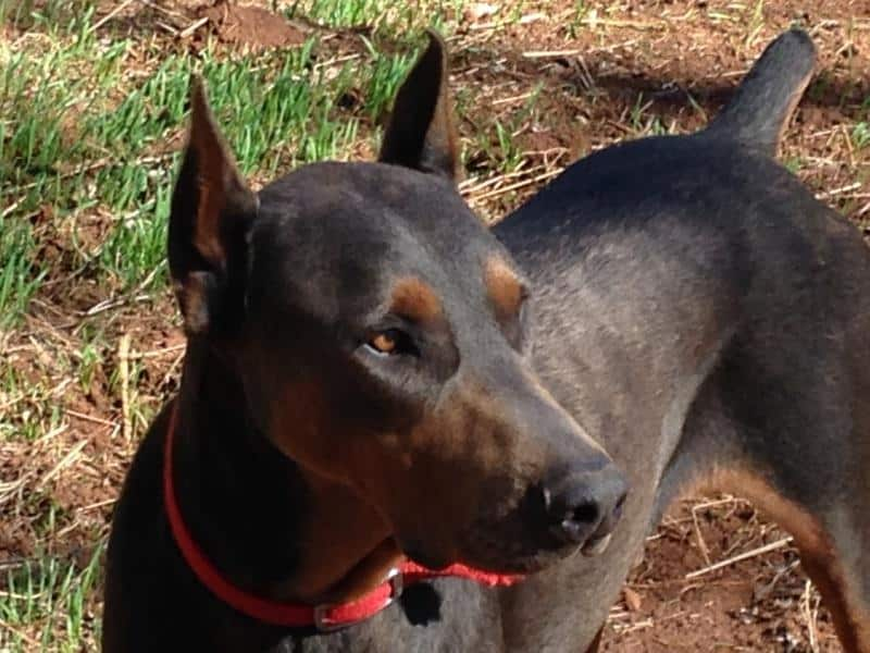Blue and rust male doberman sire